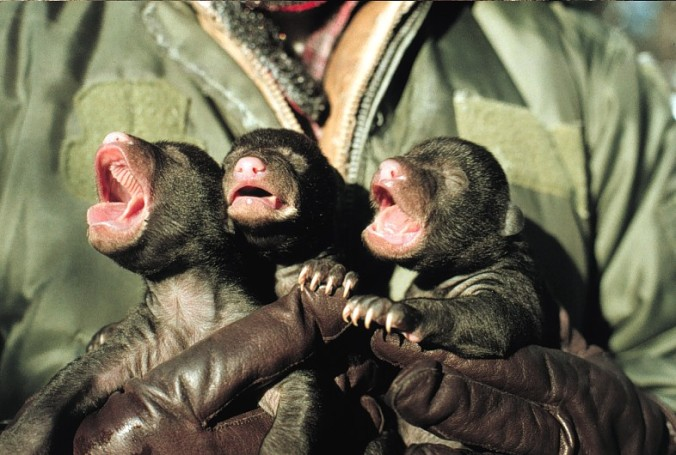 Three small cubs held in a person's hands.
