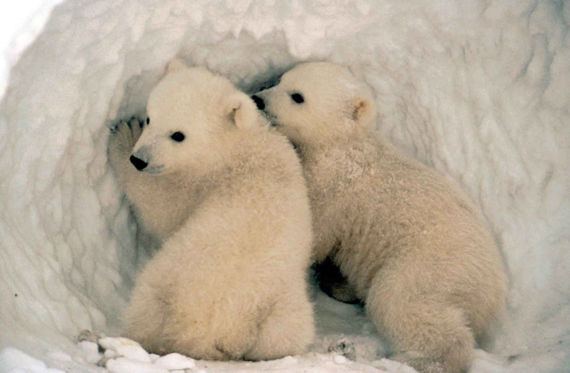 Two polar bear cubs standing at the entrance to a snow den.