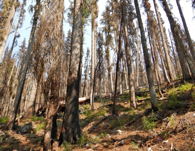 lightly burned forest with standing dead trees and some minor green vegetation on ground