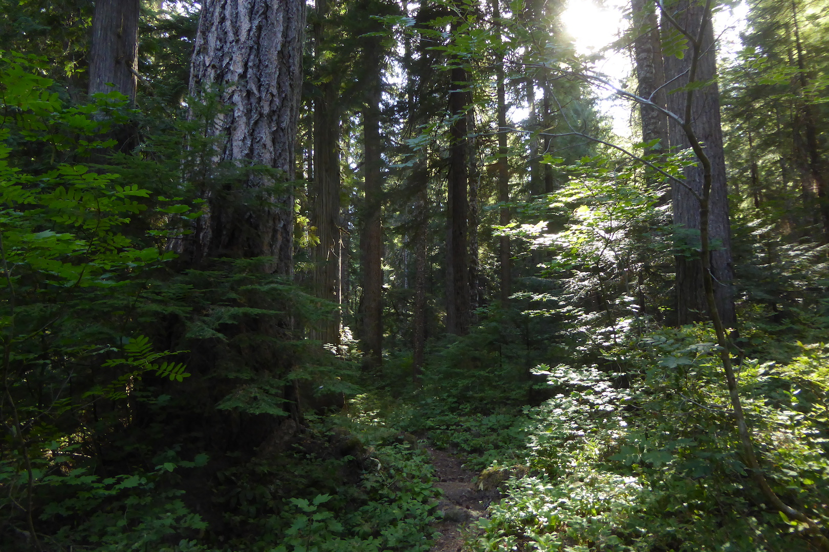 trail winding through dense forest with large trees
