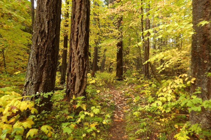 trail through forest with bright yellow fall colors