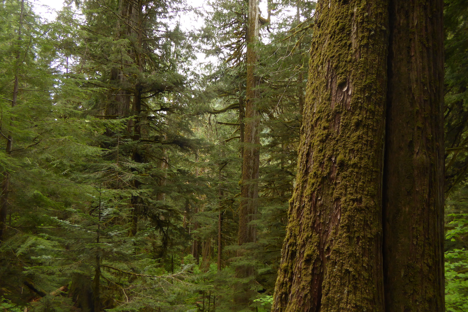 view of old growth forest with large coniferous trees