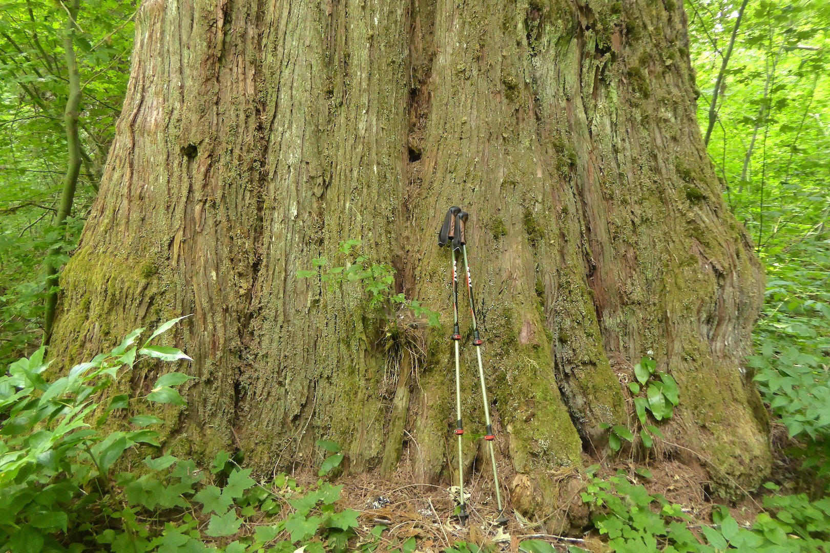bole of large tree with two hiking poles leaning against it