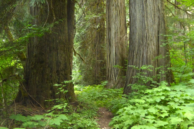 hiking trail lined by large redcedar trees