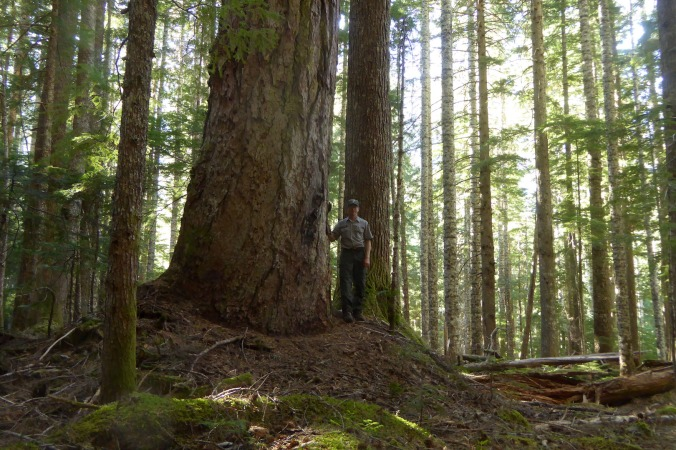 person standing next to trunk of large Douglas-fir
