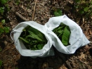 nettle leaves collected in mesh bags