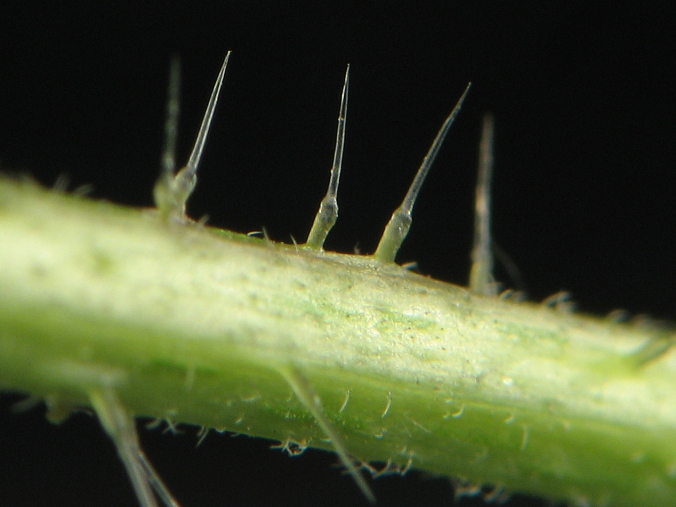 close up view of stinging nettle hairs on stem