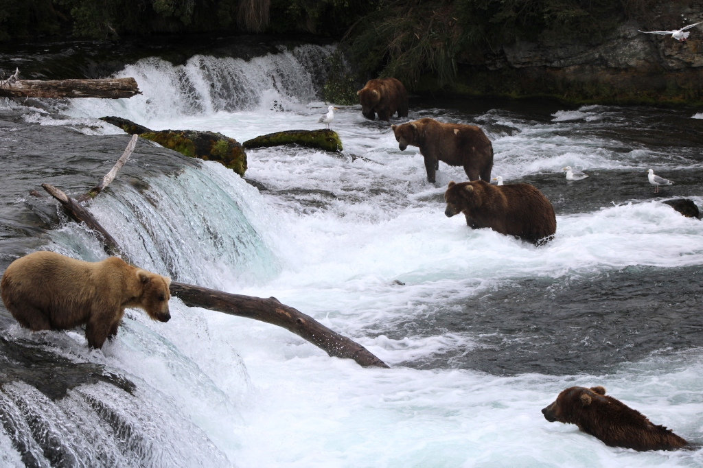 Bears fishing at waterfall. One bear stands on the lip of the falls at lower left. The others stand or sit below the falls facing upstream.