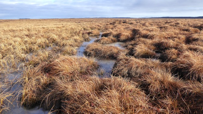 close up view of wet sedge tundra. sedge grows in multiple tussocks