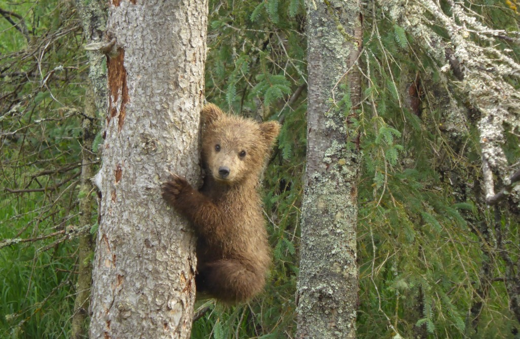 a small brown bear cub clings to the side of a spruce tree. more spruce trees and foliage fill the background.