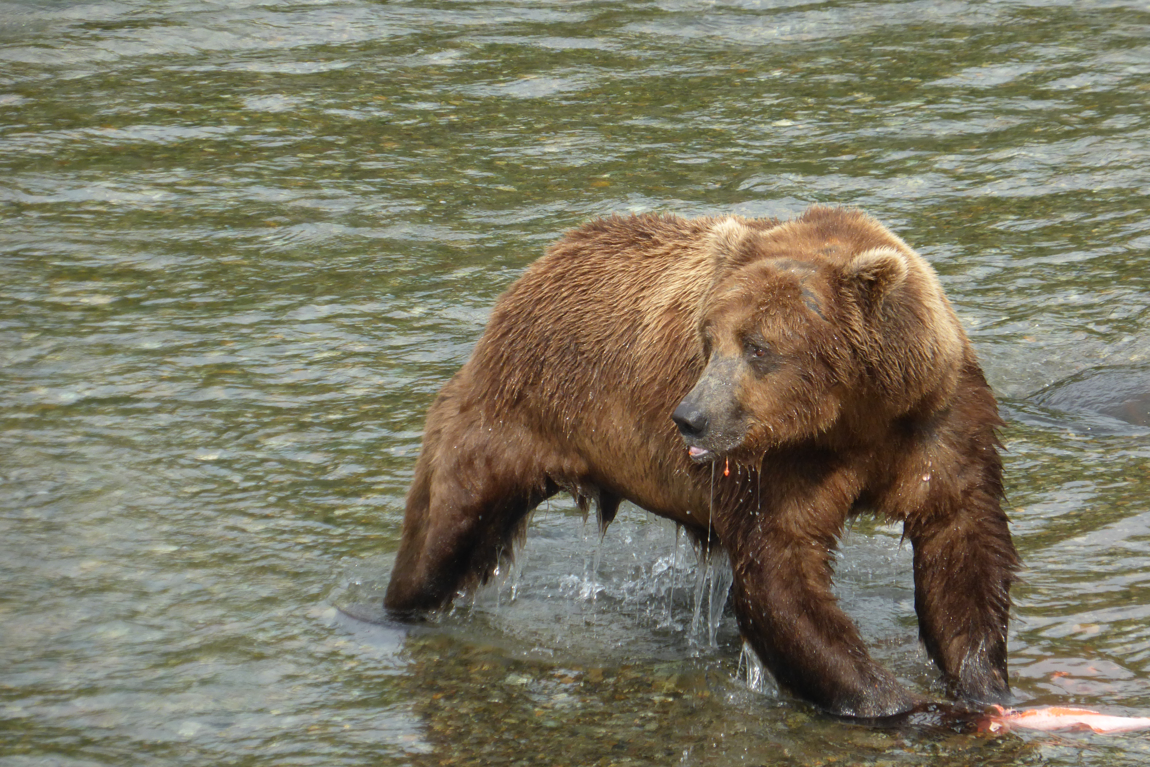 A large brown bear stands in shallow water. He looks toward the left side of the photo. A partly eaten salmon rests at his front paws.