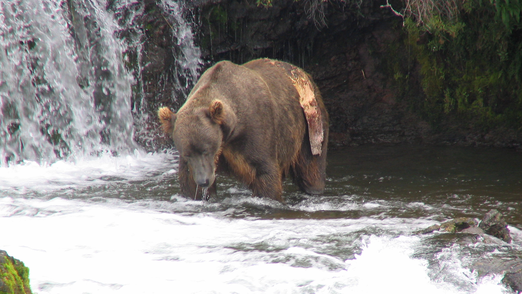 Bear standing in shallow water in a corner of a waterfall. Bear is facing toward camera and has large flap of skin hanging from its left hip.