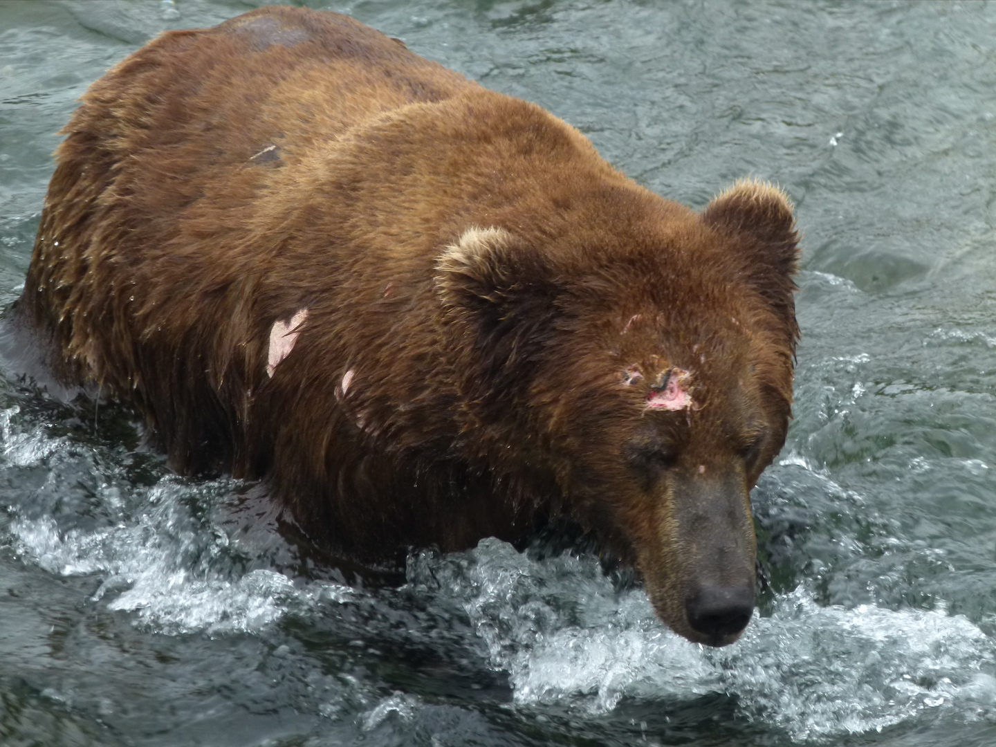 brown bear walking through belly deep water. Bear has wounds on forehead and right shoulder.