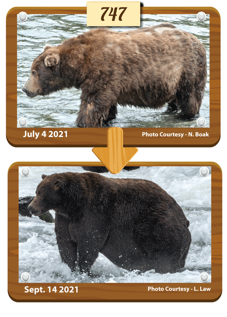 before and after photos of a large brown bear. Top photo was taken on July 4 2021. Bottom photo was taken on September 14 2021.